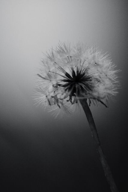 Dandelion of autumn