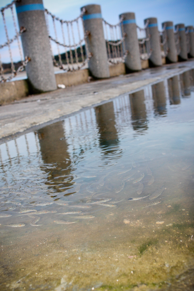 水たまりに取り残されたフグの群れ