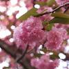 桜がもさっ