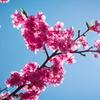 河津桜 やっと咲いたね