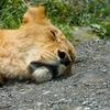 爆睡ライオン