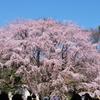 10.3.30六義園枝垂れ桜_051