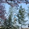 _006.4.3桜祭り