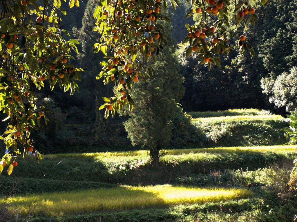 山里、柿のカーテン