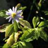 路傍の雑草 野菊と朝露