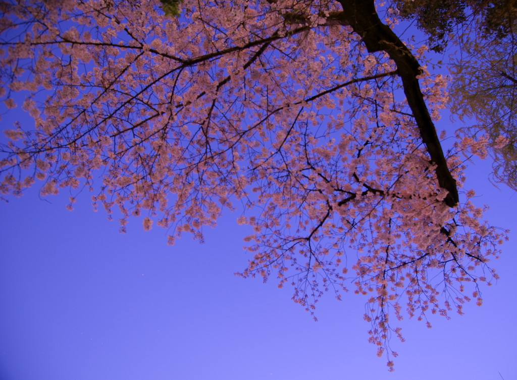 夜更けに映える桜