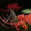 ヒガンバナとアゲハ蝶