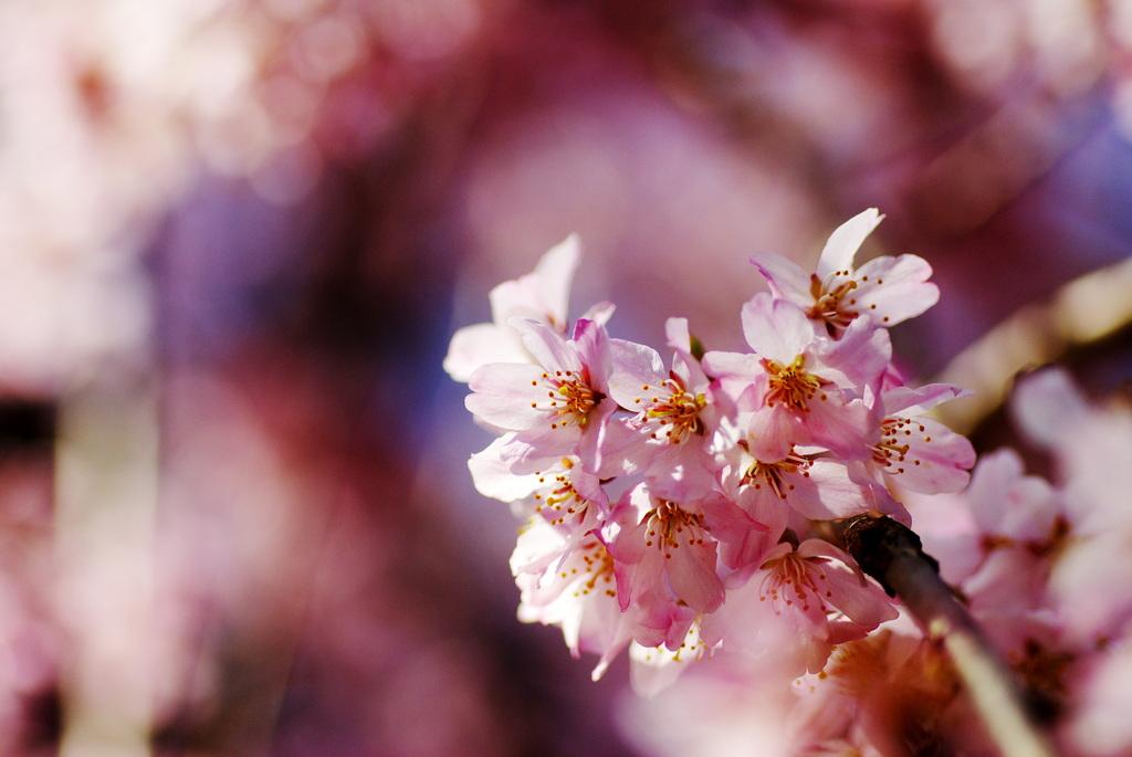 サクラ咲く。