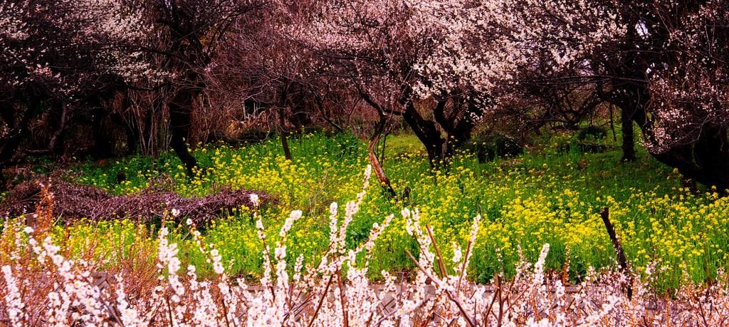 乱れ咲く春。