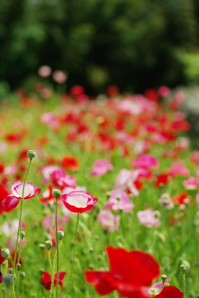 ポピーの花畑。