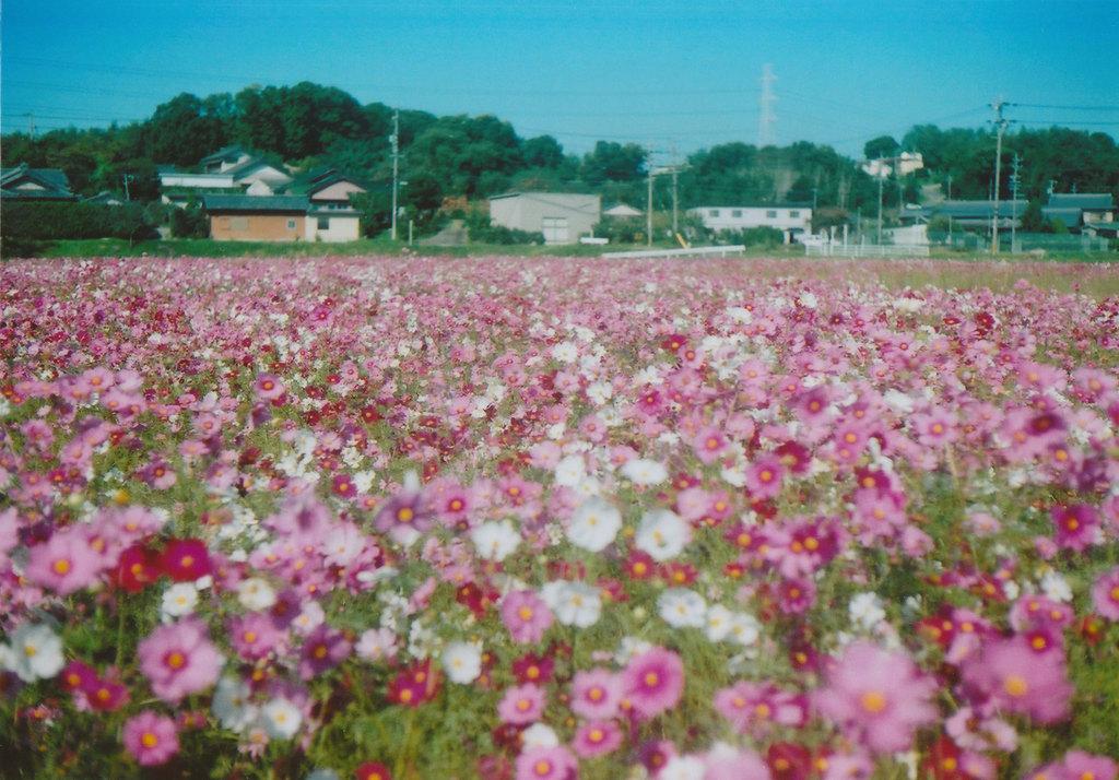 秋桜・・・3