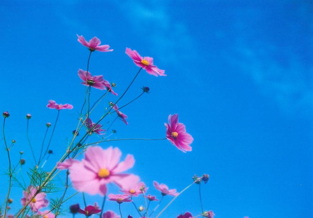 秋桜・・・2