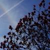 虹と飛行機雲と木蓮の花