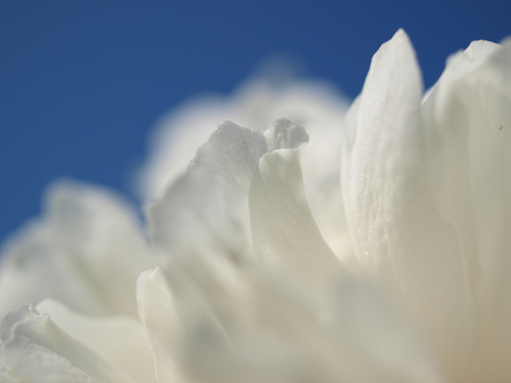 白い花びら