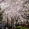 Sakura-day