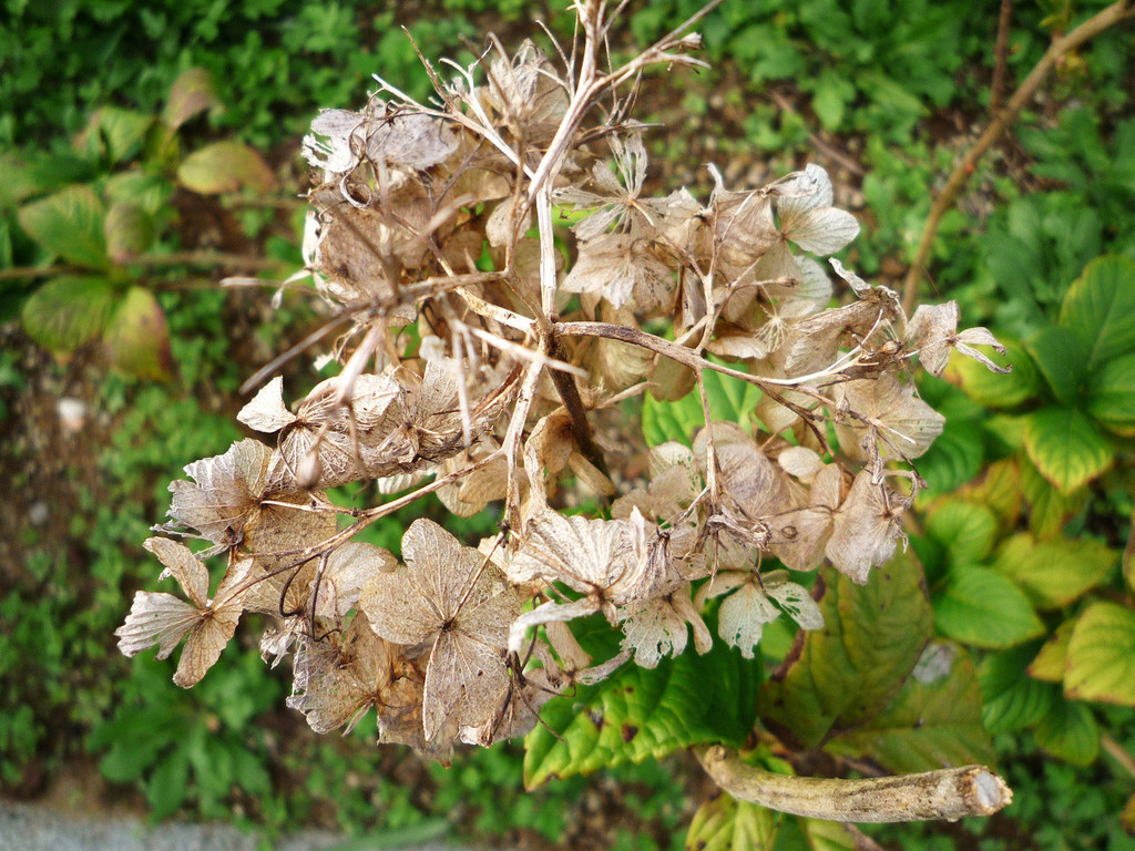 Bone-hydrangea