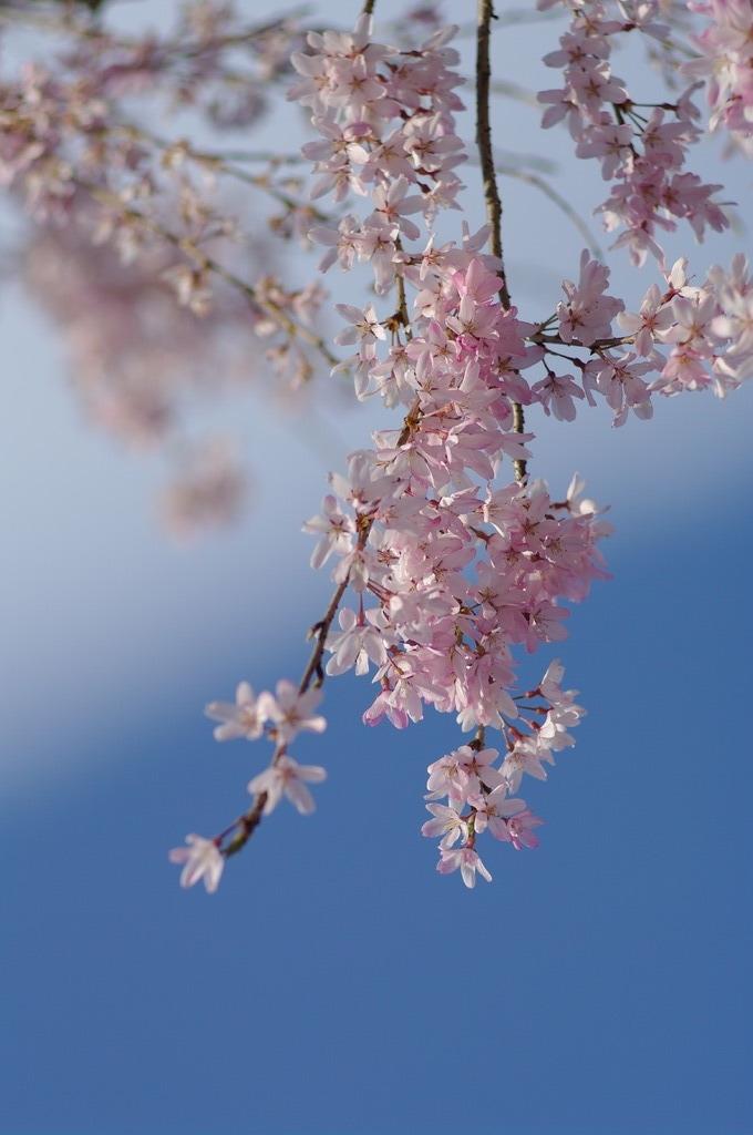 徳島城跡の枝垂桜