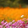黄金の花畑