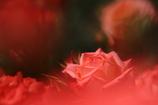 Rose & Shadow