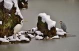 雪の彦根城玄宮園散策 (サギの対峙) Ⅱ