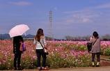 秋桜に魅せらて