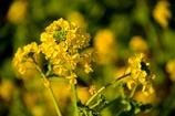 早春の寒咲花菜