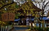沙沙貴神社の蠟梅