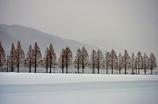 雪原のマキノメタセコイア並木道