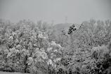 枯木立の雪花