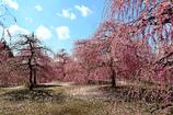 陽春のしだれ梅