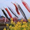 菜の花と河津桜と鯉のぼりとおばぁさん