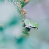 Hyla japonica #3