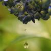水無月の紫陽花