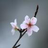 富山ゆかりの桜「コシノフユザクラ」