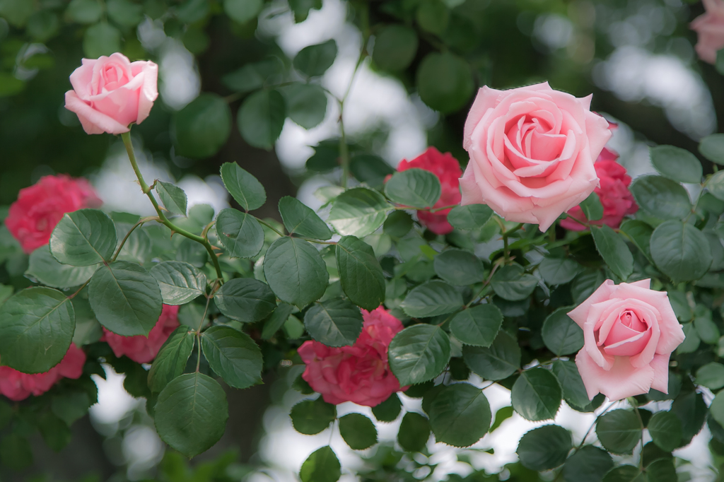 薔薇の画像 p1_24