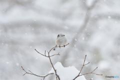 雪が降る降るシマエナガ