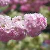 造幣局今年の桜