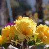 胸に咲いた黄色い花‥