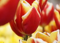 SONY SLT-A57で撮影した(春のビタミン)の写真(画像)