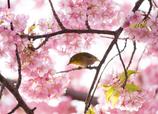 ♪..Sakura..♪
