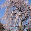 Sakura in the blue.