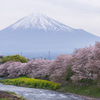 Mt.Fuji in spring.