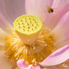 Lotus with bee.
