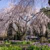 Sakura in the blue #2.
