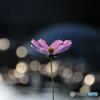 秋桜のメロディー