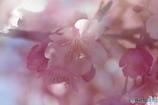 如月桜-Ⅲ