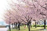 櫻、花びら拾い