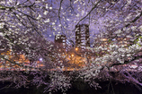 神田川の桜④ 庫出し^^