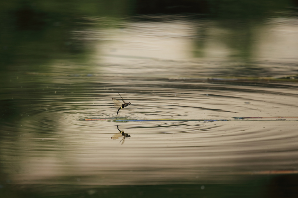 光る池の水面で