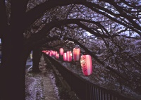 BRONICA ETR-Siで撮影した(桜祭り1)の写真(画像)